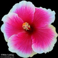 White Edged Pink Hibiscus
