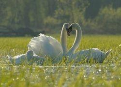 Cygnes - Mute swans