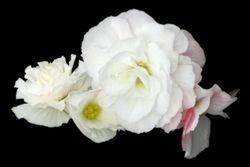 "White Petals - 20"" x 30"""
