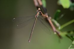 Western Willow Spreadwing - LESTES VIRIDIS
