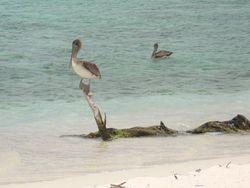 Pelicans on Sandy Island