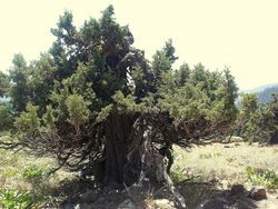 Gnarled tree on Soda Mt.