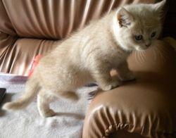 Cream Boy 'Oscar' 8 weeks old