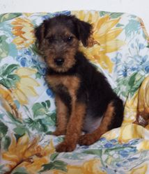 HERMAN: $695 companion, Male, AKC Oorang Airedale Terrier, born 2-26-15, 2 year health guarantee, Reunite microchip, vet puppy exam, care recommendations, care support and guidance, current vaccinations and wormings, home raised with paper training