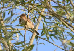 Wryneck  (Torcol)