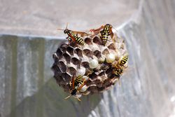 Yellow jackets busy at work.