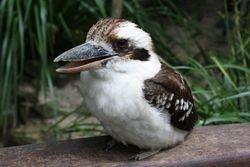 Kookaburra at Cairns