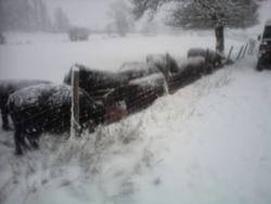 Snowy steers!