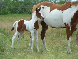 Suckling - APHA bay tovero filly by Sparks Black Jack
