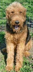 GIGI:  $400, AKC Giant Airedale Terrier, Retired Dam, super sweet, energetic