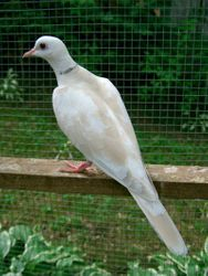 Young Red-eyed Blond Ivory Pied