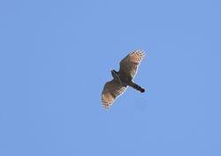 Roadside Hawk (and snake)
