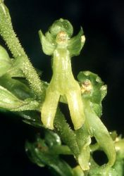 Common twayblade flower