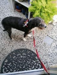 Portugese hond