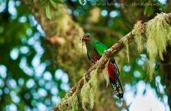 White-tipped quetzal - Pharomachrus fulgidus female