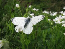 Small or green veined  white ??