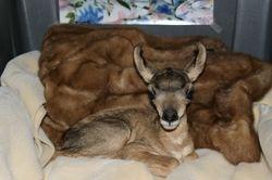 Belle the Antelope