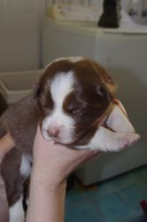 Jazzys babies- Choc Girl-13 days old!