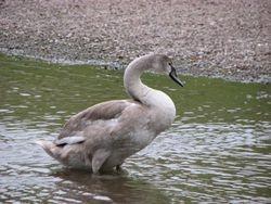 Mute swan cygnet 2