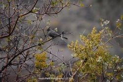 A Gray Blue Jay?