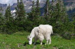 Mountain Goat-Glacier Park