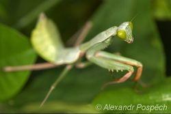Praying Mantis, Wanang