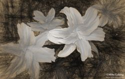 White Lilies B&W