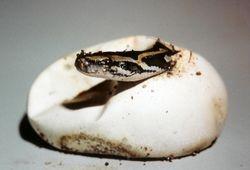 burmese python hatching