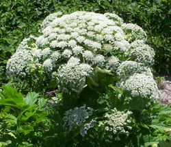 Giant hogweed flower umbel