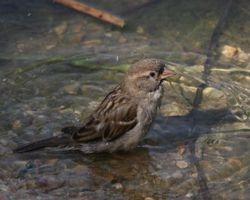 House Sparrow  (Moineau domestique)
