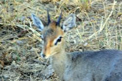 Dik Dik -Samburu Game Reserve