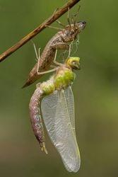 Emperor dragonfly emerging.