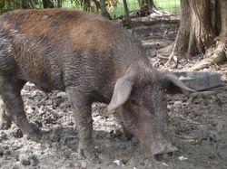 A friendly pig!