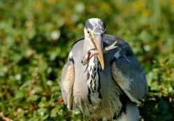 Héron cendré - Heron