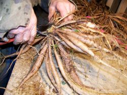 Dividing the tubers