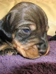 dog pup 14 days 4