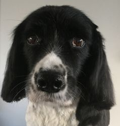 Bella - Springer Spaniel