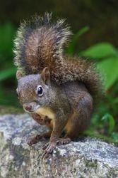 Serelepe - Caxinguele - Esquilo brasileiro ( Guerlinguetus ingrami )