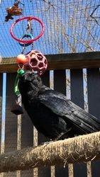 Resident Crow