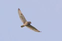 Short-eared Owl (Hibou des marais)