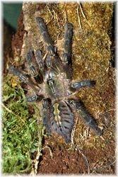 Poeciotheria rufilata