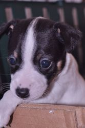 LuLu/Rocky pup