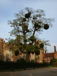 """Mistletoe """"tree"""""""