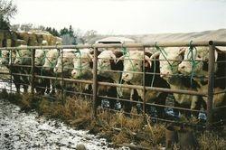 Sale Bulls