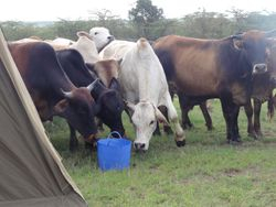 Cows on way to dipping station