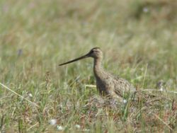 Bar-tailed Godwit  (Barge rousse) - long-beaked race