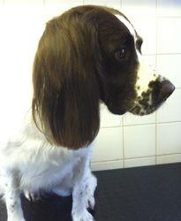Cassie - Springer Spaniel