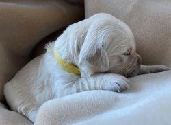 Phoebe - Yellow Collar Female