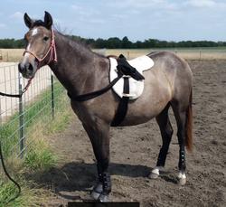 Saddle Prep - Yearling