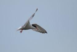 Common Tern   STERNE PIERREGARIN